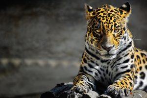 jaguar wallpaper animal