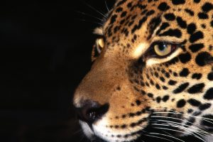jaguar wallpaper photography