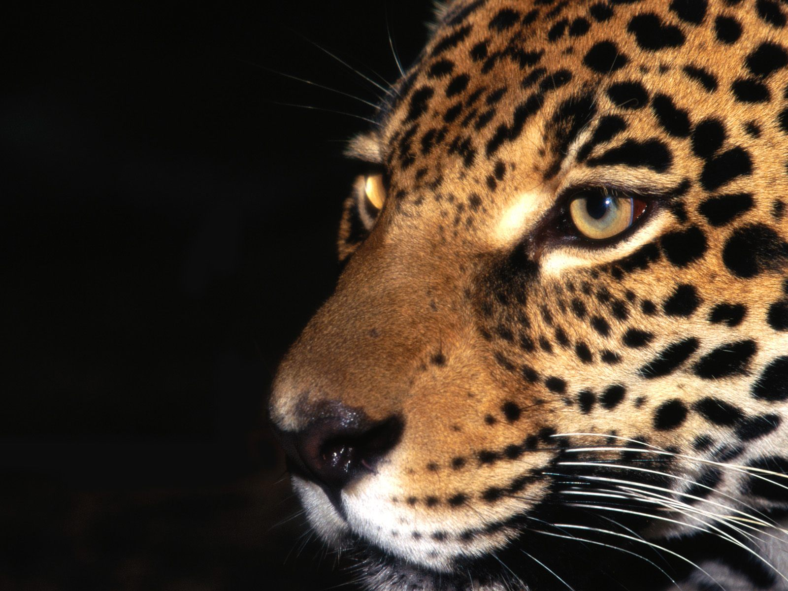 jaguar wallpaper photography
