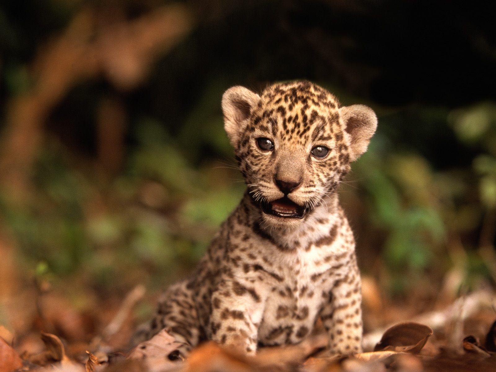 jaguar wallpaper widescreen