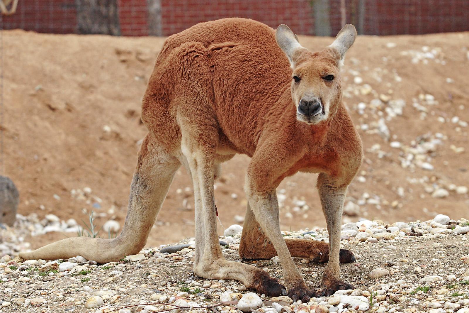kangaroo lovely