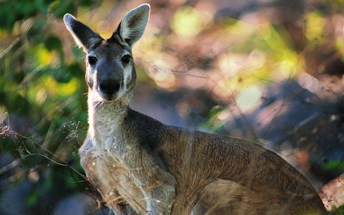 kangaroo nature