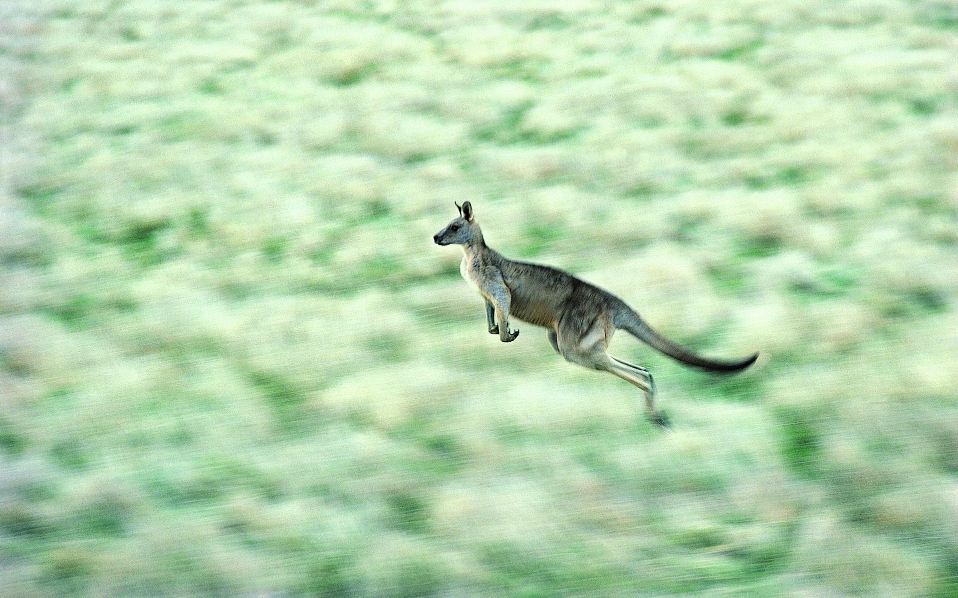 kangaroo wallpaper download