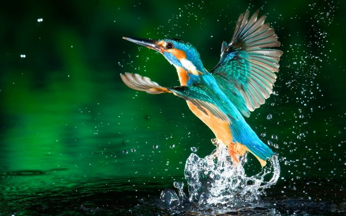 kingfisher wallpapers