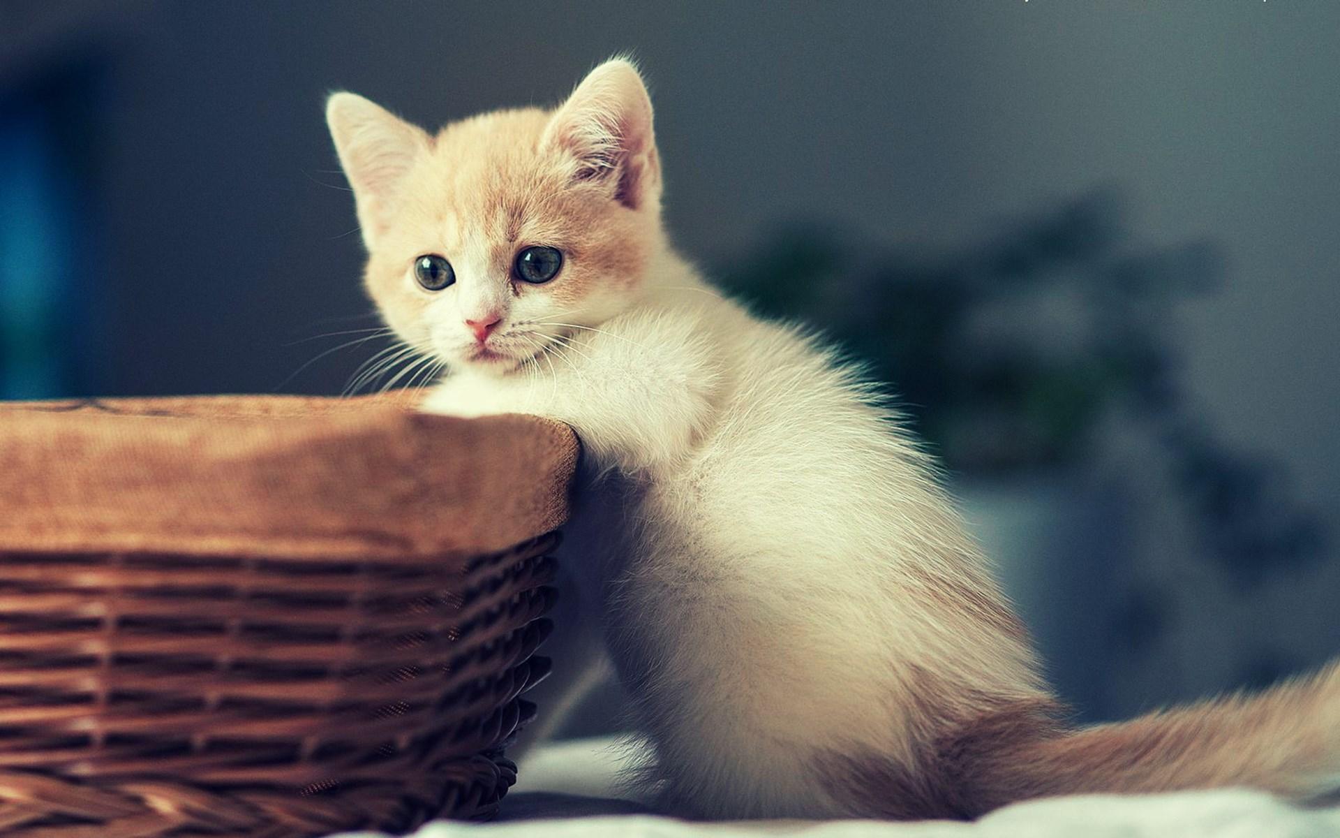 kitten A1