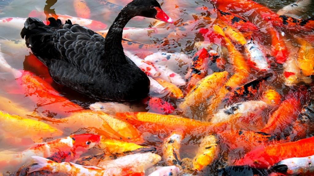 koi fish picture hd