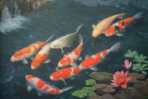 koi fish pictures hd