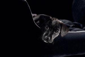 labrador cute pup