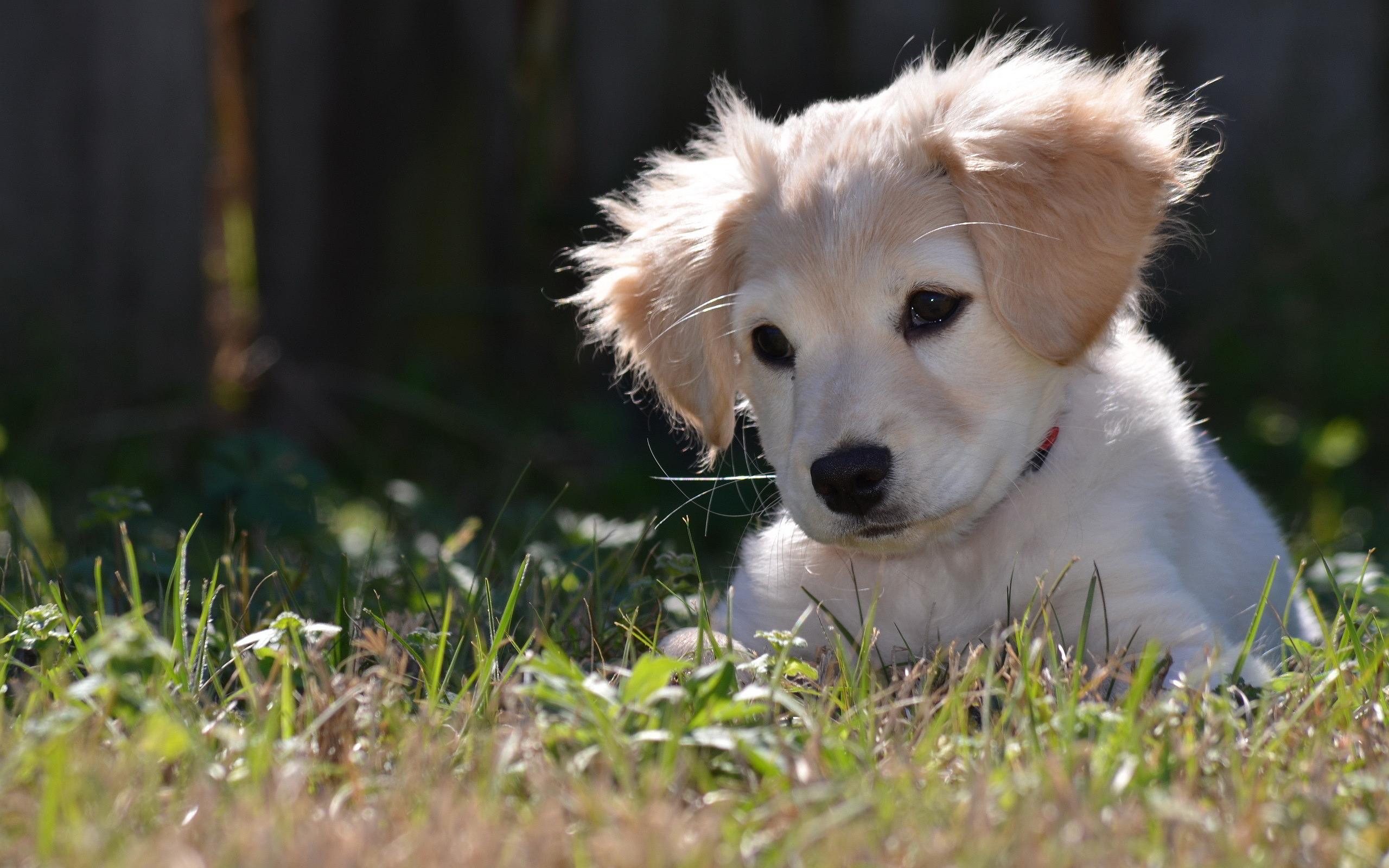 labrador sweet pup