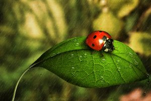 ladybugs wallpapers