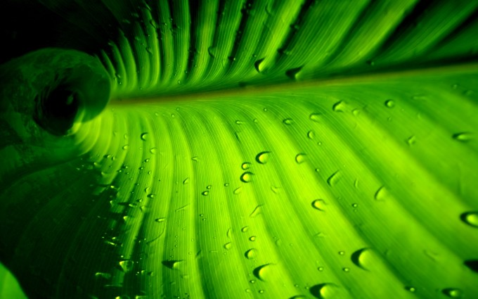 leaf wallpaper dew drops