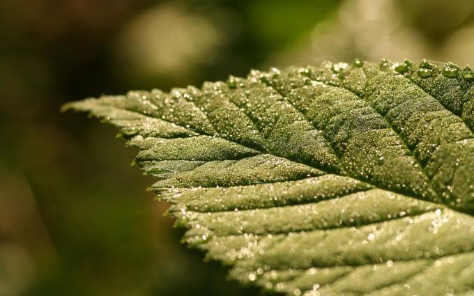 leaf wallpaper nature
