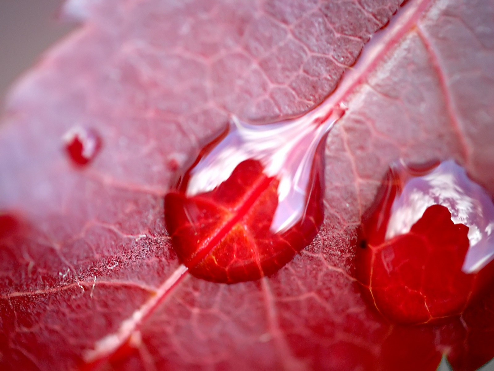leaf wallpaper red hd