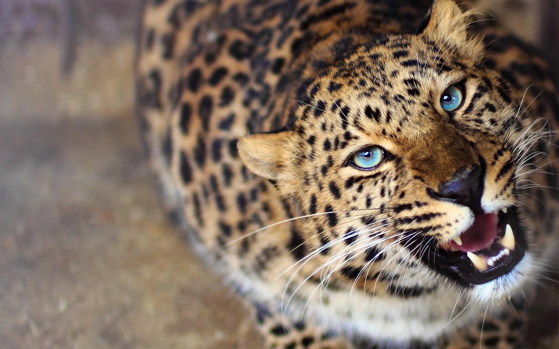 leopard phone wallpaper