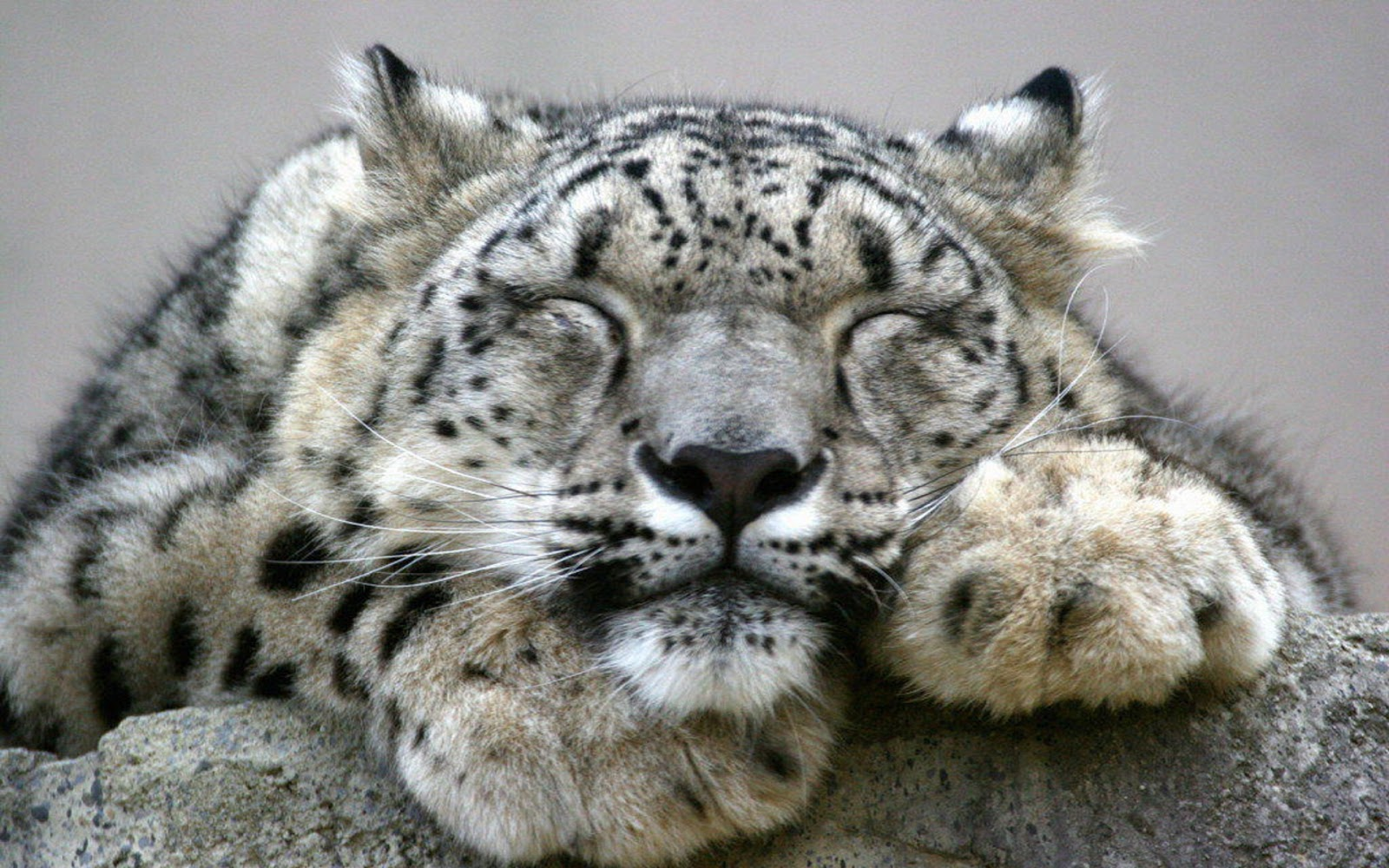 leopard wallpaper adorable