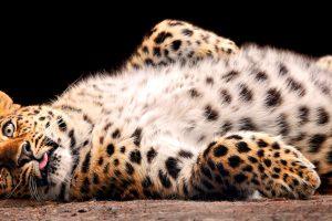 leopard wallpaper beautiful
