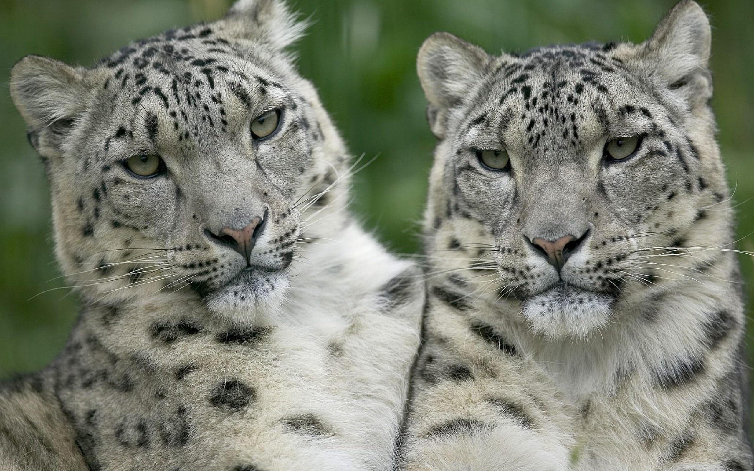 leopard wallpaper love