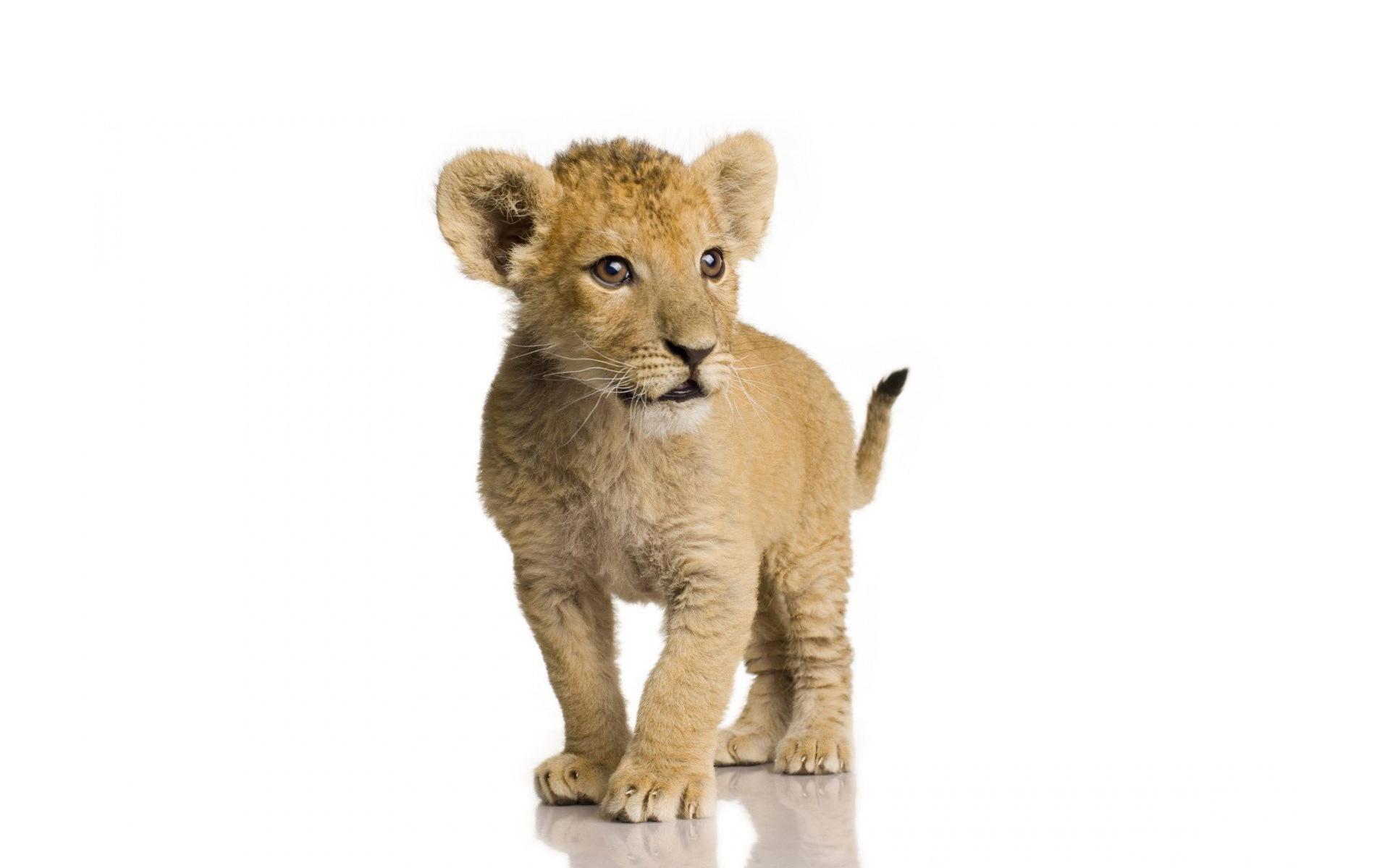 lion cub background
