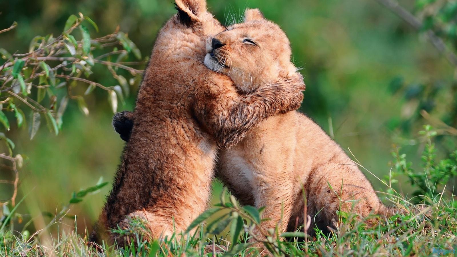 lion cub siblings