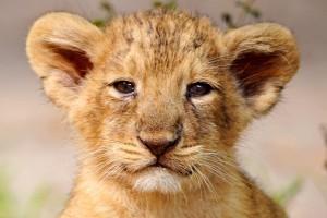 lion cub wallpaper hd