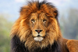 lion free wallpaper