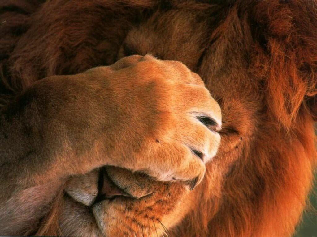 lion images free download