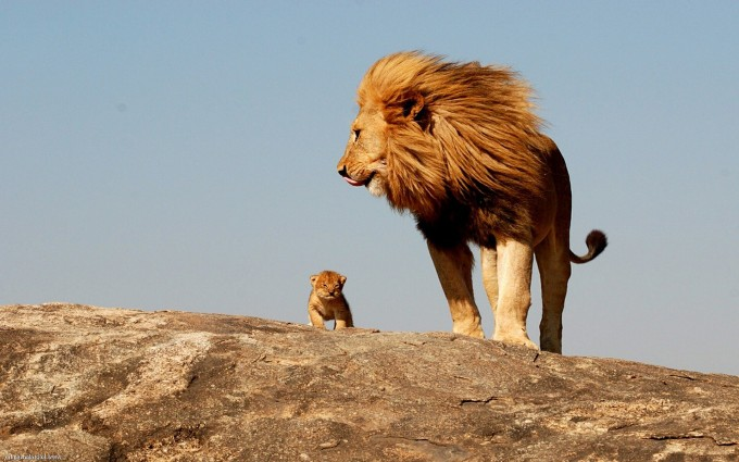 lion images high resolution