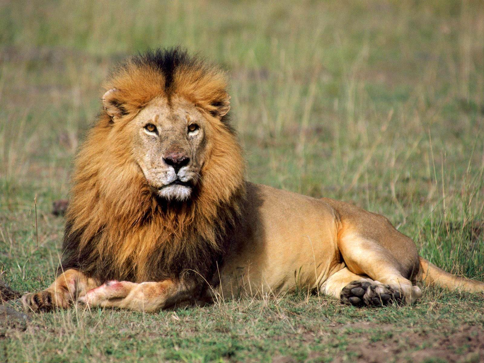 lion photo hd