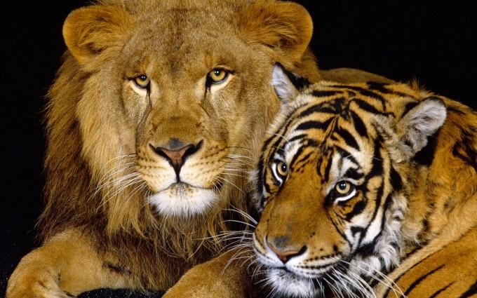 lion tiger wallpaper