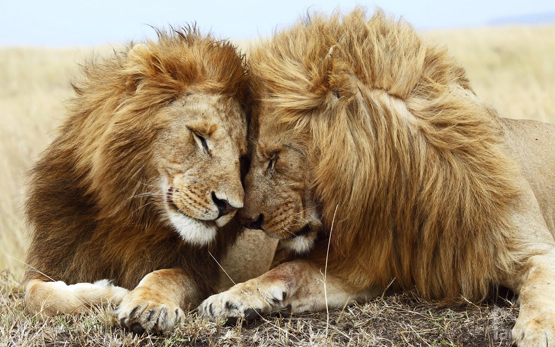 lion wallpaper mobile