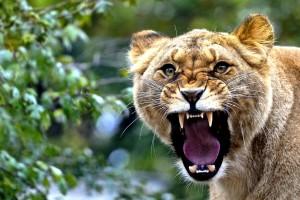 lioness wallpaper  roar