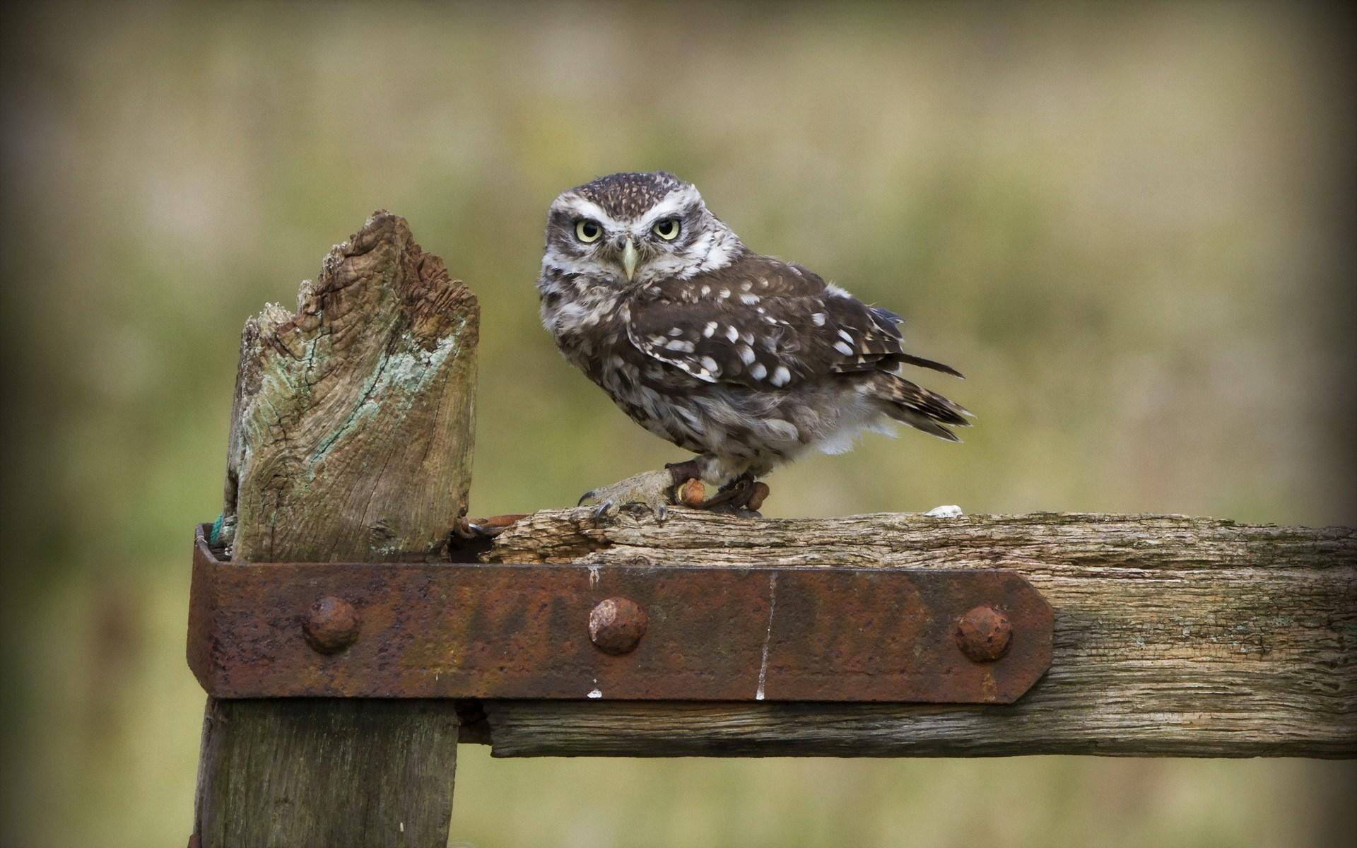 little owl wallpaper