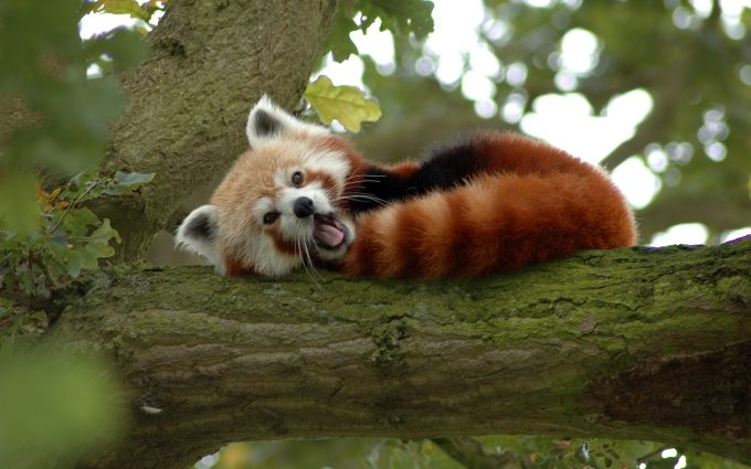 little red panda