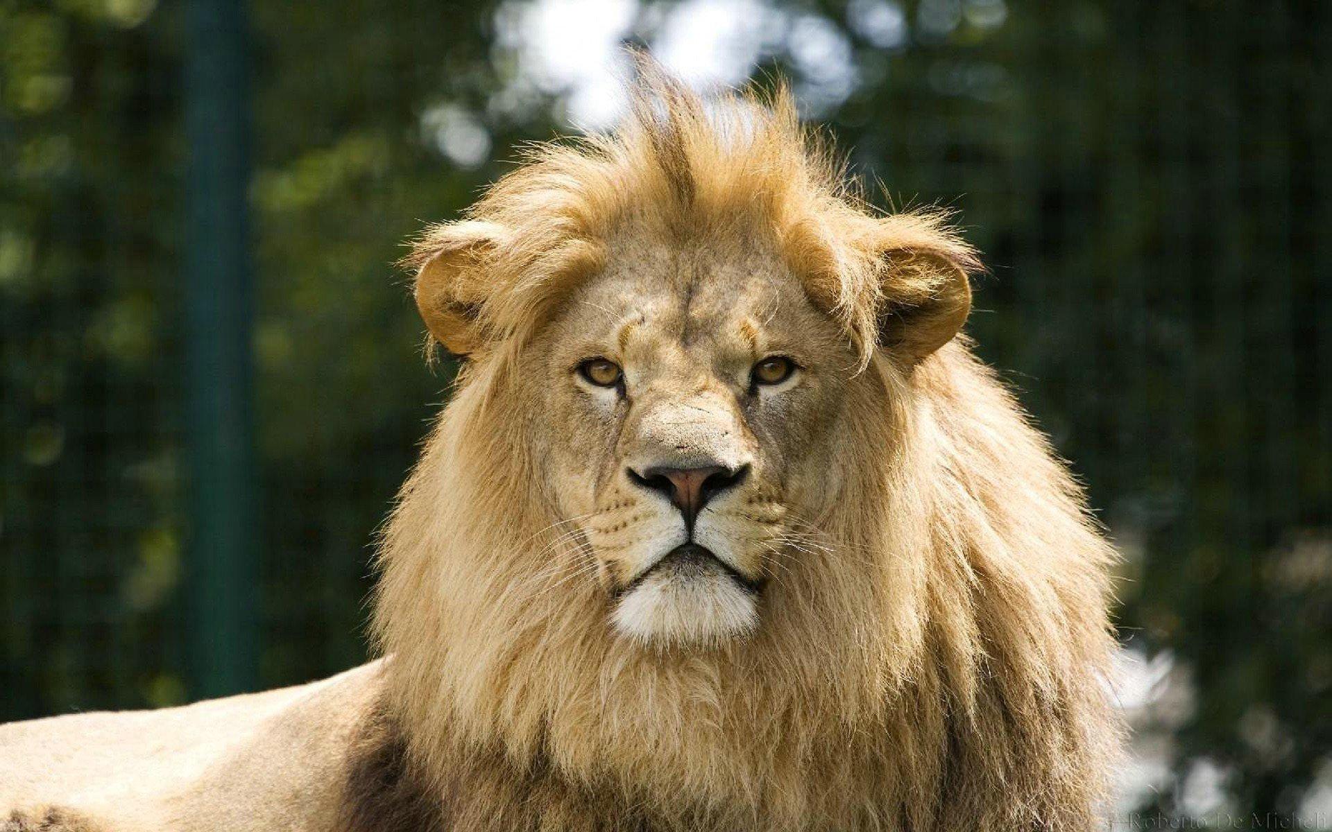 lion photo image