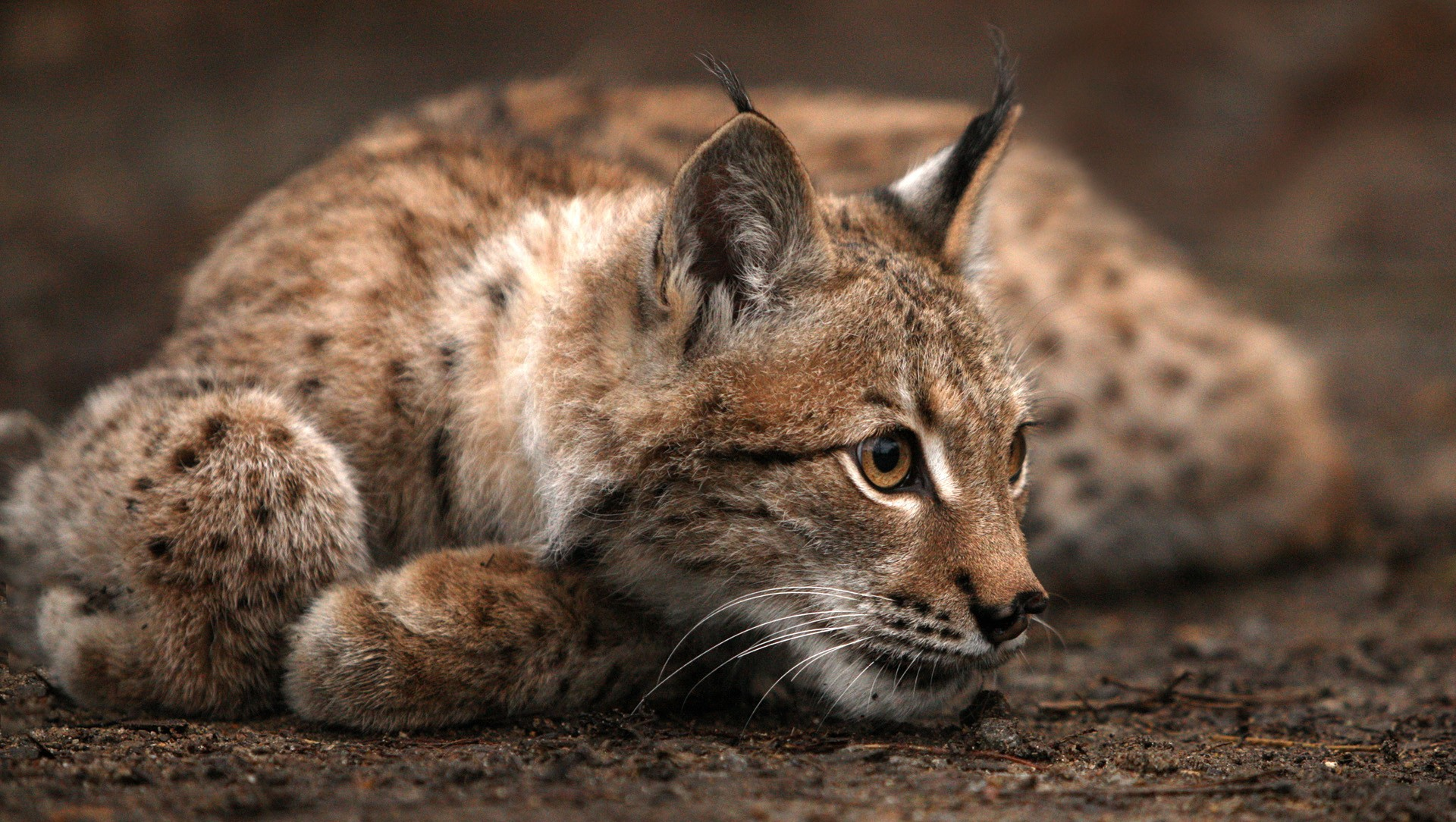 lynx images