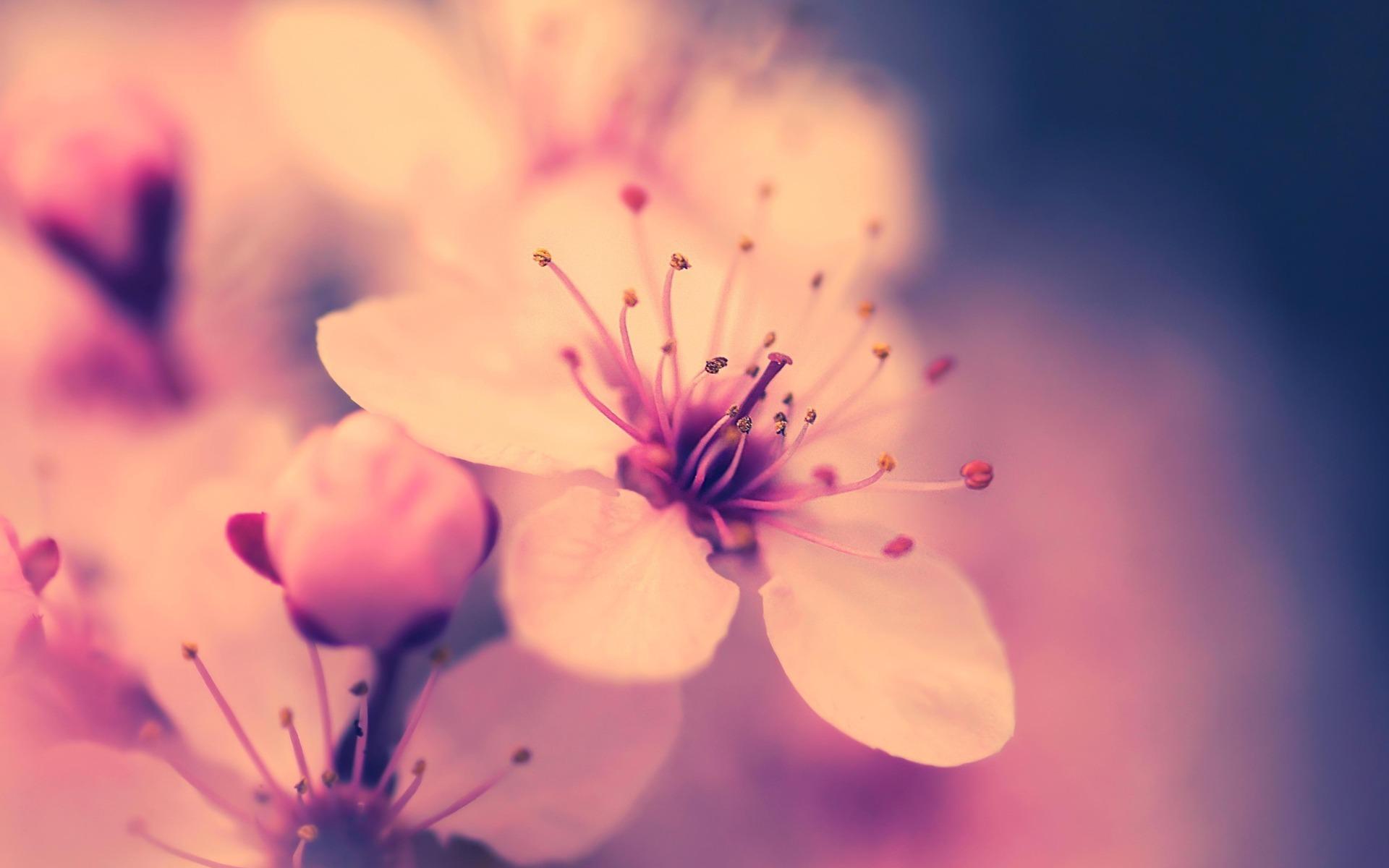 macro wallpaper cherry