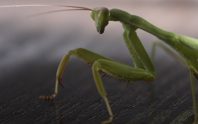 mantis hd