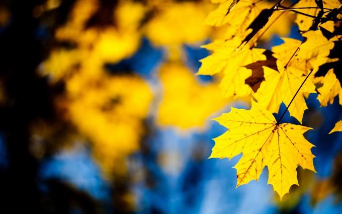 maple leaves wallpaper
