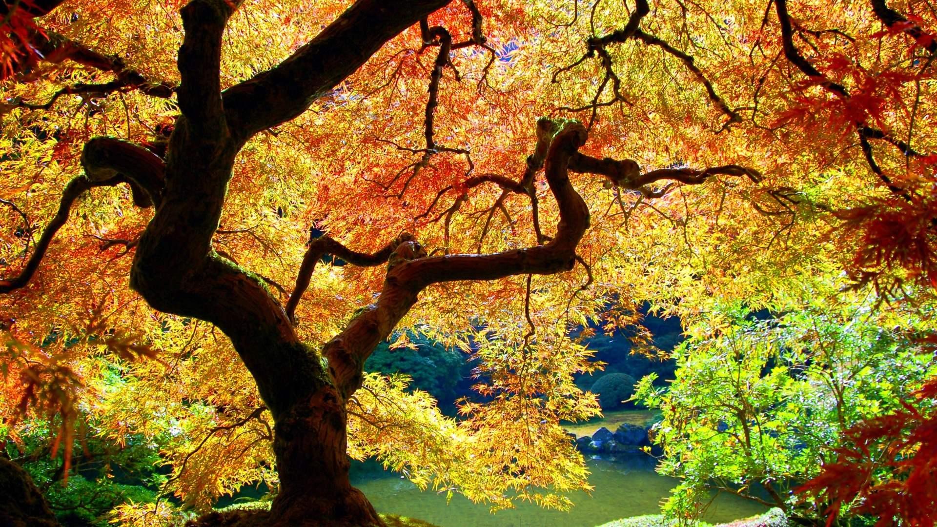 maple tree wallpaper