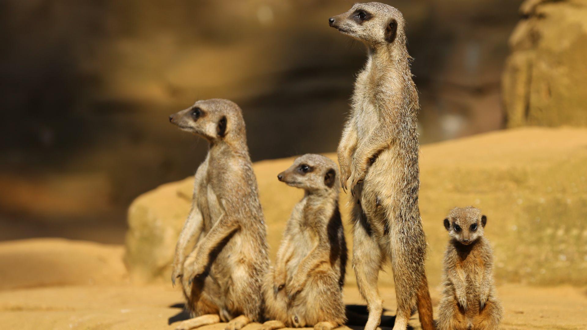 meerkat images