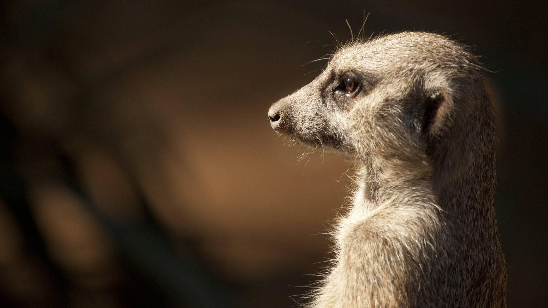 meerkat pic - HD Desktop Wallpapers | 4k HD