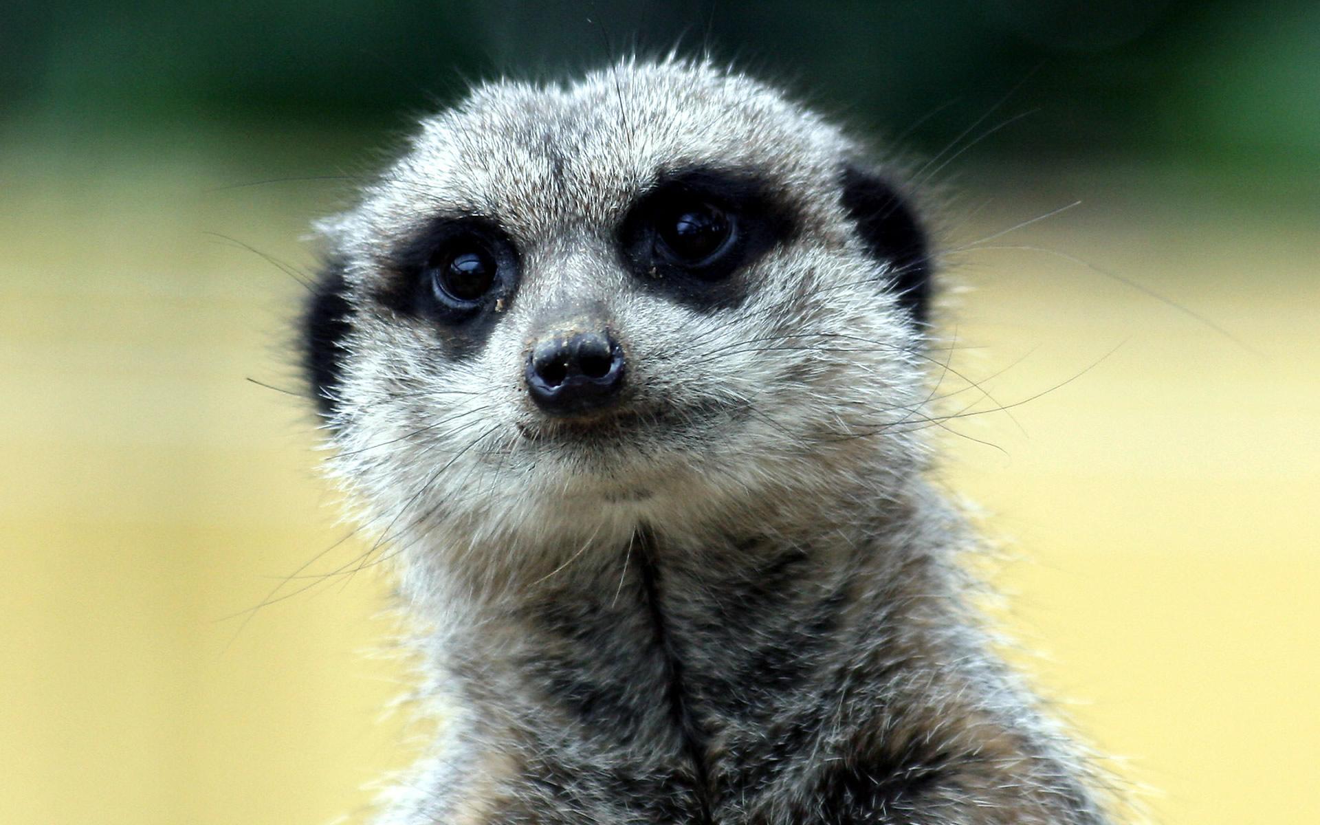 meerkat pictures funny