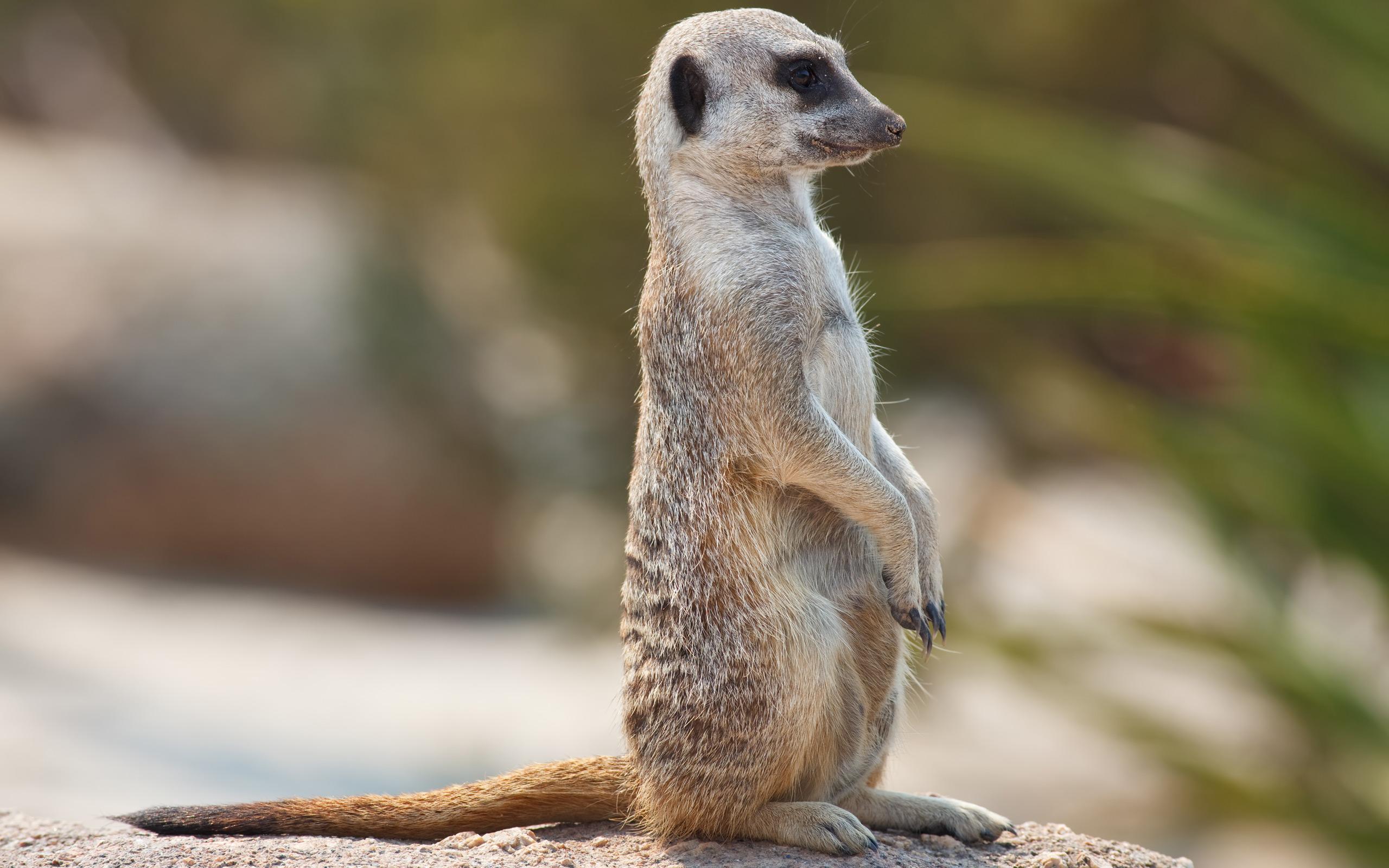 meerkats images