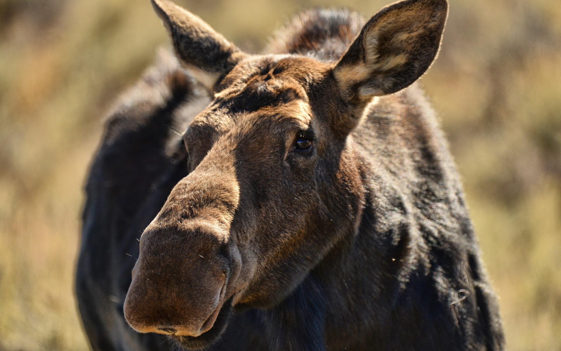 moose wallpaper 1080p