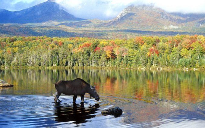 moose wallpaper nature