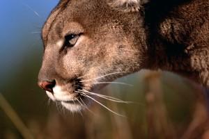 mountain lion download