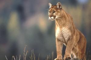 mountain lion free