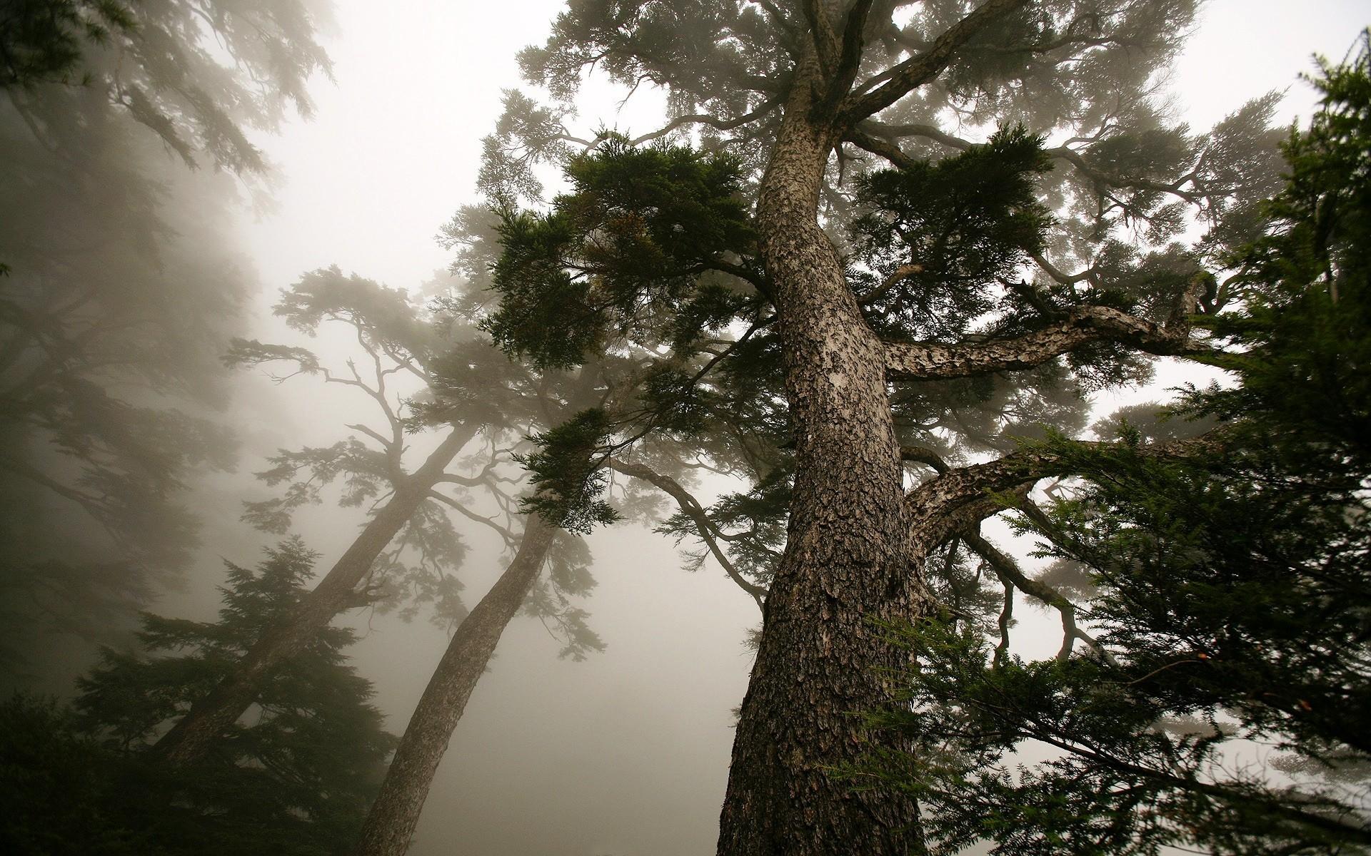 雲霧中的松樹, 能高山 (Trees in mist, NengGao Mountain)