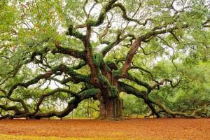 oak tree wallpaper 1080p