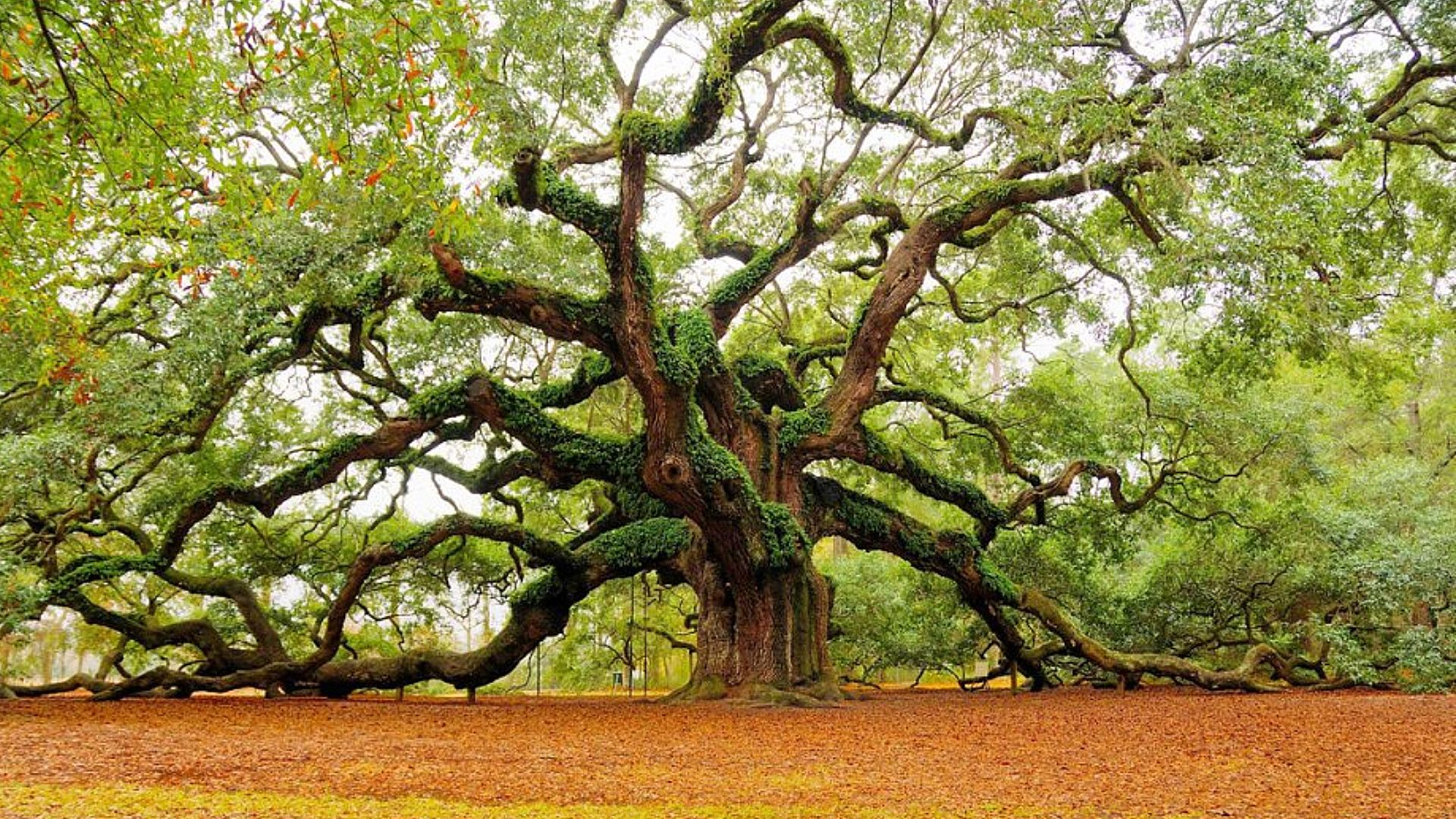 oak tree wallpaper 1080p
